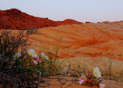 Valley Of Fire flowers