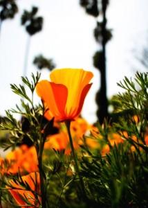 Orton Poppies